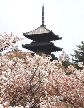 仁和寺 桜.JPG