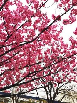 横浜桜.JPG