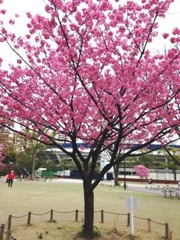 横浜桜2.JPG